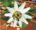 従業員が育てている「時計草」。開花のタイミングが合えば敷地内で見ることができます